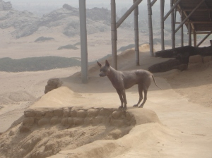 peruvian hairless dog at temple of the moon